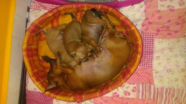 Cachorro pinscher numero 01 - Foto 2
