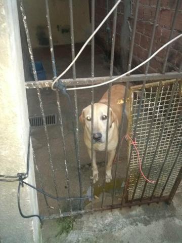 Doação cachorro labrador - Foto 2