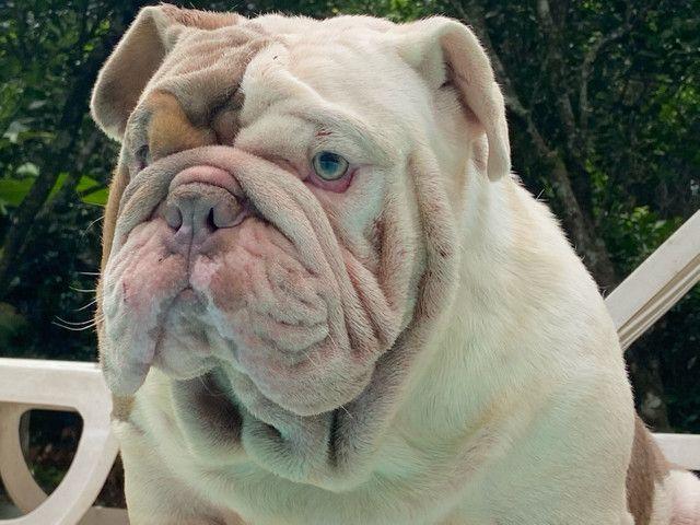 Cobertura do Bulldog inglês