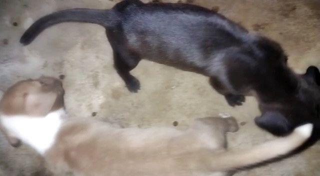 Filhotes de Pitbull,macho e fêmea cor preto e amarelo com branco - Foto 5
