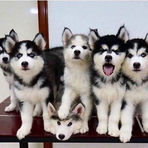 Lindíssimos filhotes de Husky Siberiano