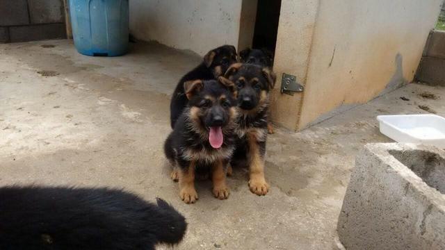 Filhotes de excelente procedência, com pedigree e garantias em contrato - Foto 2