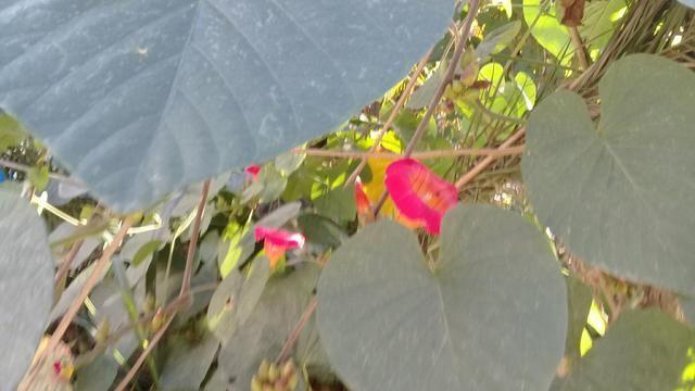 Trepadeira ipomeia vermelho sangue - Foto 2
