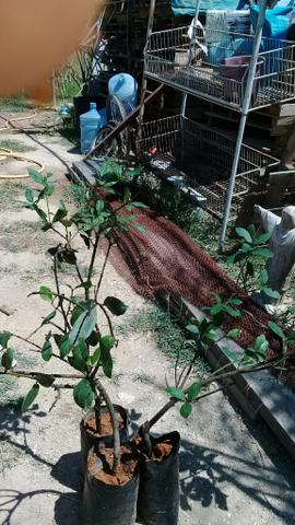 Mudas de loro.especiarias pimenta do reino cravo da india - Foto 2