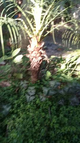 Palmeiras fenix varios tamanhos - Foto 2