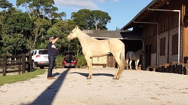 Vendo Cavalo Campolina Marchador. Baio Amarilho.Lindo e Muito Manso - Foto 2