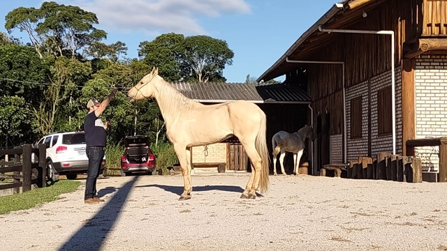 Vendo Cavalo Campolina Marchador. Baio Amarilho.Lindo e Muito Manso - Foto 4