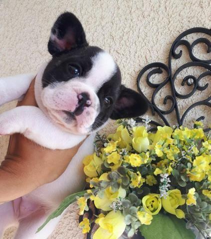 Linda fêmea de bulldog francês Top