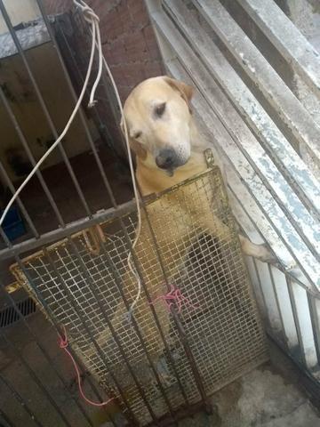 Doação cachorro labrador - Foto 4