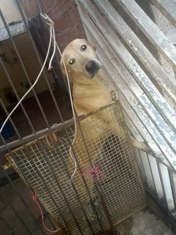 Doação cachorro labrador