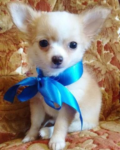 Chihuahua fllhotes pelo curto e longo, várias cores