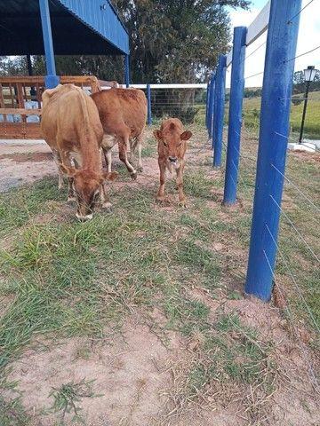 Sítio com Leiteira, Piquetes Irrigado - Foto 17