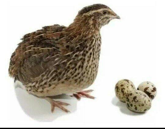 Ovos de codornas