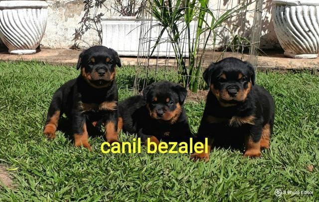 Rottweiler a venda com pedigree 65 99232 8737