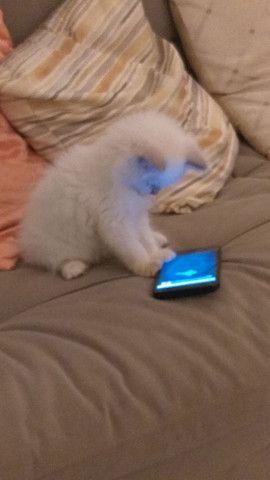 Gato persa a venda - Foto 2