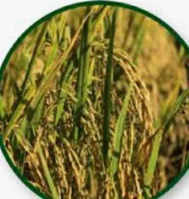 Vendo semente Arroz variedade  Guri e variedade 424