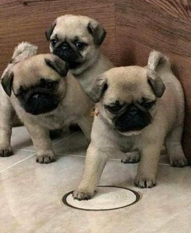 Filhotes de pug com pedigree! - Foto 3