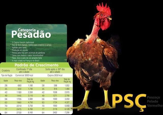 Pintinhos Label Rouge Selecionados - Foto 4