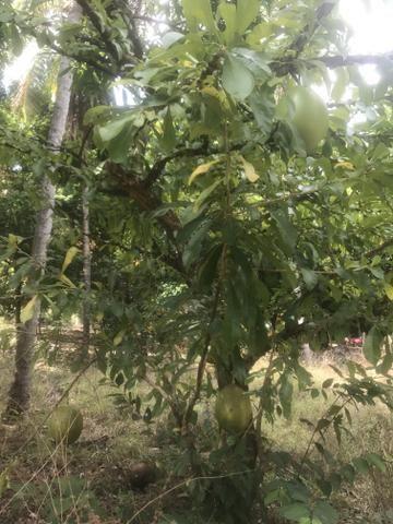 Vendo Sitio no Paço do Lumiar, com casa e muitas árvores frutíferas - Foto 6
