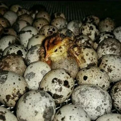 Ovos de codornas - Foto 5