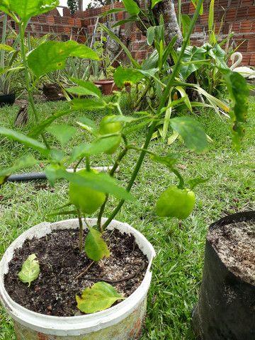 Vendo mudas de pimentas  já  produzindo  - Foto 3