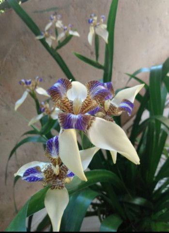 Vendo muda dessa linda planta  - Foto 2