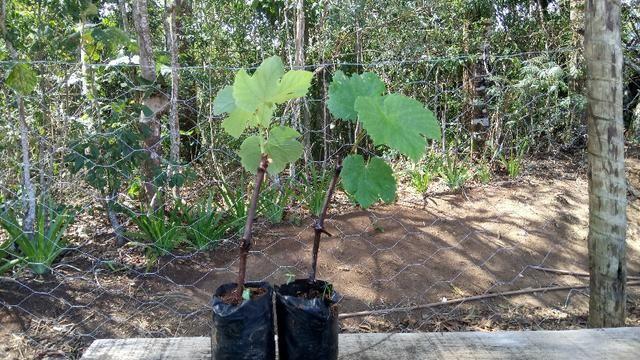 Muda de uva (videira) - variedade Isabel - Foto 2