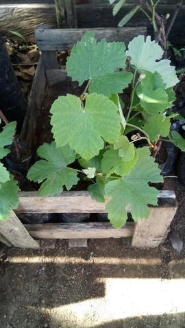 Mudas de uva sem semente (videira) - BRS Vitória - Foto 5
