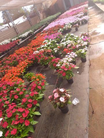 Mudas frutíferas,hortaliças e flores etc - Foto 5