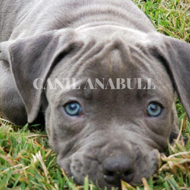 Filhotes de American Bully Blue Nose C Pedigree E AC Veterinário- Pitbull - Foto 3