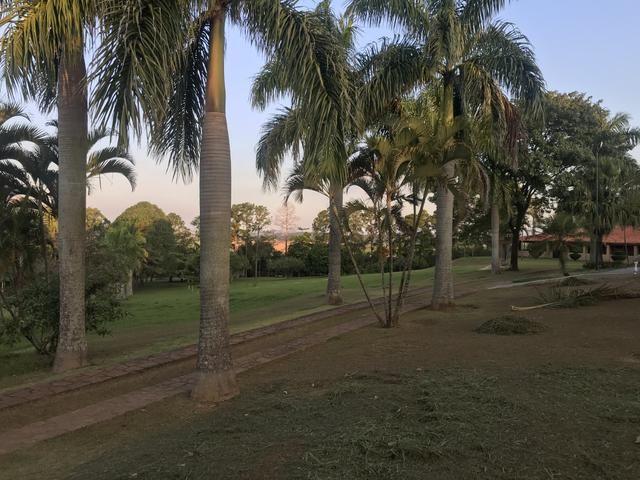 Palmeiras imperial adultas e sadias - Foto 3