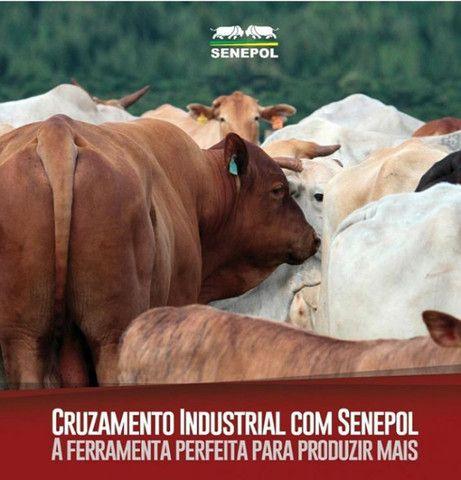 [[64]]- * Shop Reprodutores Queen Bahia Senepol (10 mil cada em 8 parcelas) * -