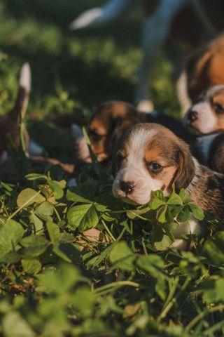 Vendo filhotes de Beagle? - Foto 3