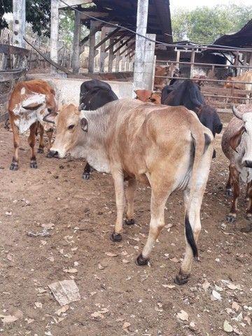 Vende se vacas e garotes - Foto 3