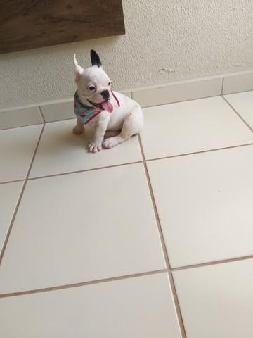 Bulldog Francês - Foto 6