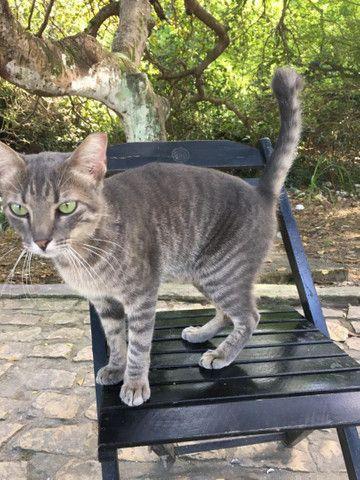 Gato Castrado para Adoção - Foto 2
