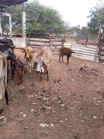 Vende se vacas e garotes - Foto 2