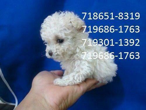 Poodle micro toy macho 5xS/J (71)98631-7376 zap
