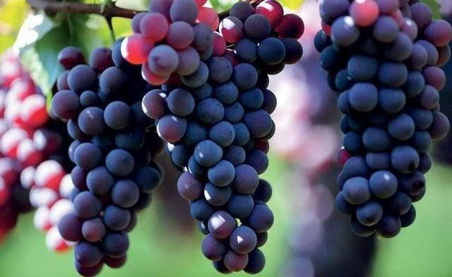 Muda de uva (videira) - variedade Isabel