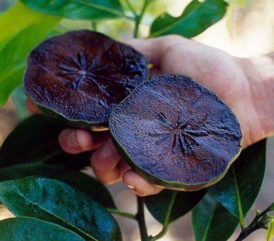 Vendo muda de sapota mais conhecida como pé de chocolate - Foto 4