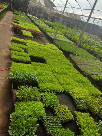 Mudas frutíferas,hortaliças e flores etc - Foto 4