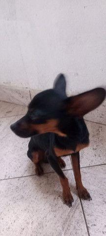 vendo um cachorrinho pincher n 1 vai fazer 1 ano em abril - Foto 2