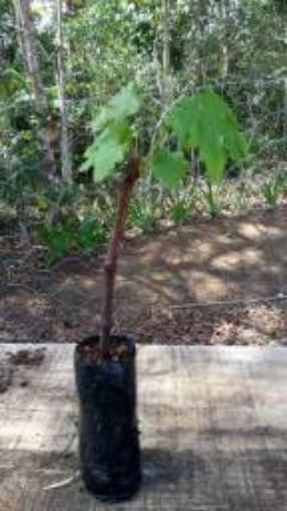 Mudas de uva sem semente (videira) - BRS Vitória - Foto 2