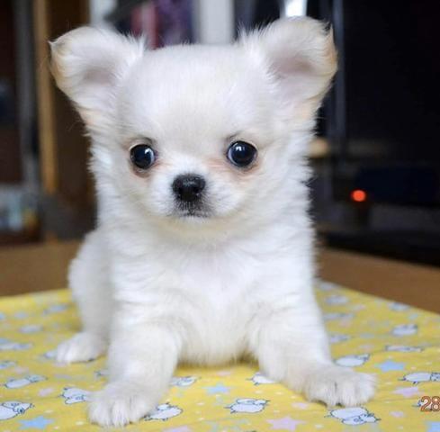 Chihuahua cores exóticas a pronta entrega - Foto 4