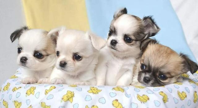 Chihuahua cores exóticas a pronta entrega - Foto 2