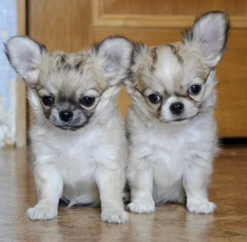 Chihuahua cores exóticas a pronta entrega