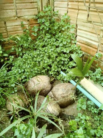 Munda de coco