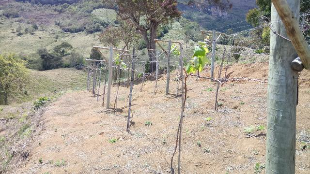 Mudas de uva sem semente (videira) - BRS Vitória - Foto 3