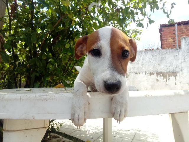 "Filhote Fêmea Jack Russell Terrier - ""Cachorro do Máscara"" com Pedigree - Foto 5"