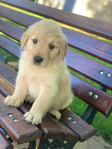Macho de Golden retriever excelente linhagem